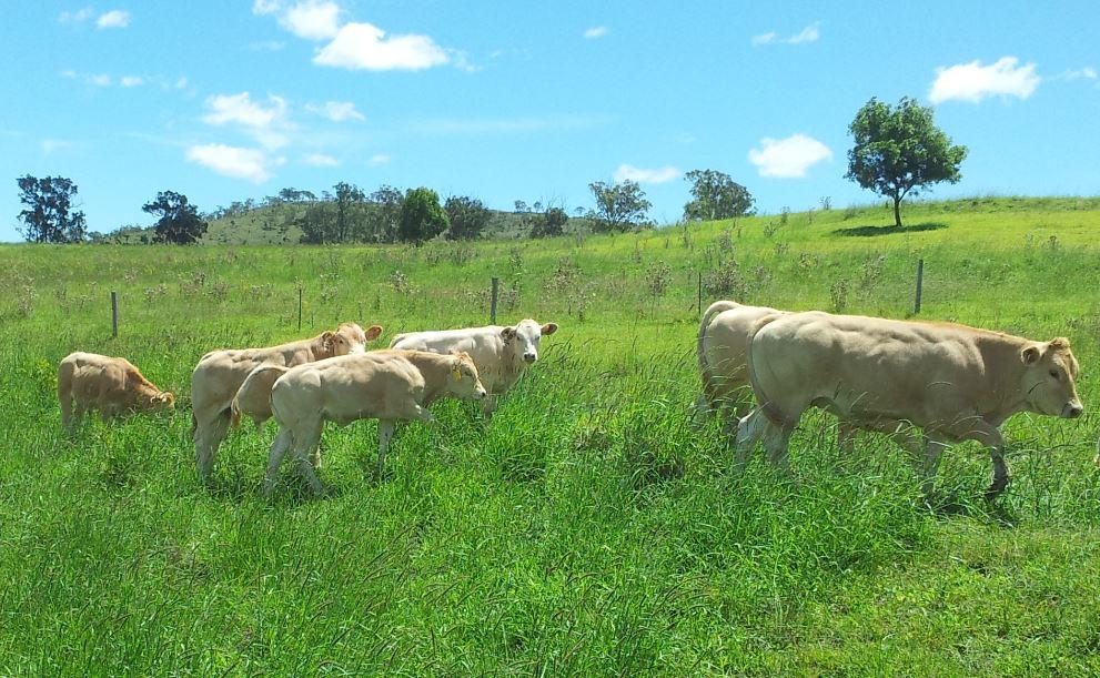 L'exploitation – Élevage vaches Blonde Aquitaine, La Ferme du Brûlay